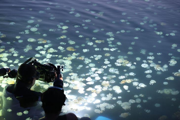 光に照らされて浮かび上がる無数のタコクラゲ