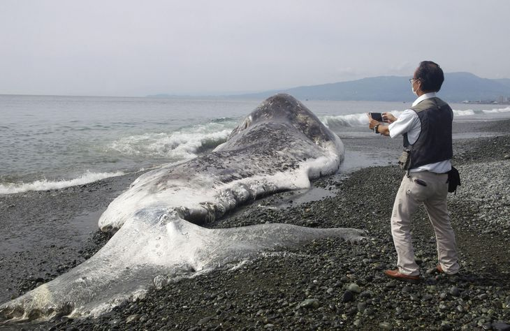 神奈川県小田原市前川の海岸に打ち上げられたクジラ=13日午前