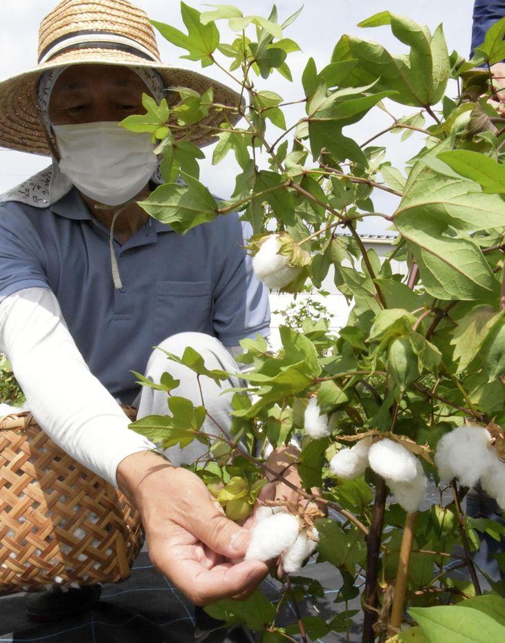 「伯州綿」を摘み取る地域おこし協力隊員の矢本成年さん=8月、鳥取県境港市