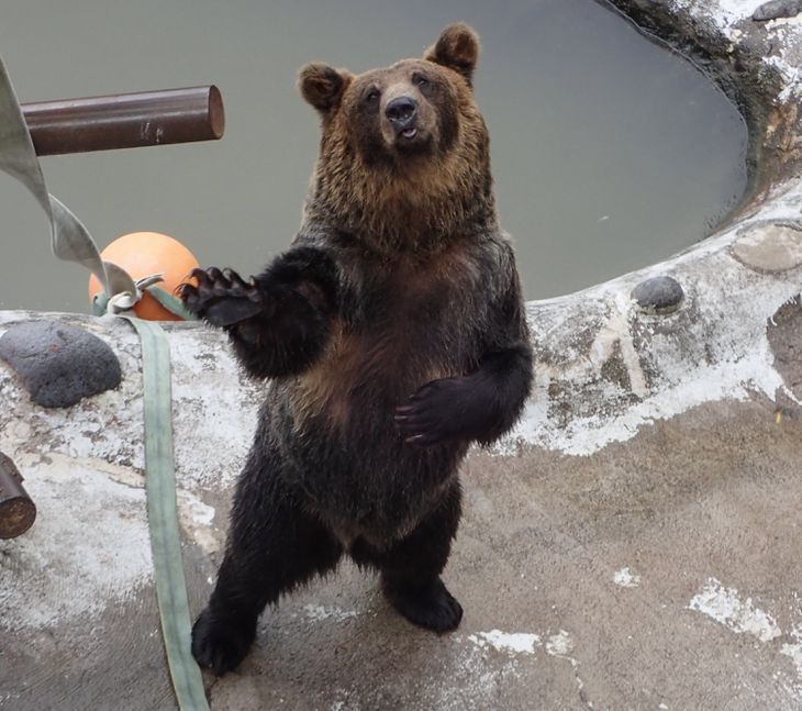 のぼりべつクマ牧場で人気1位になったベッキー