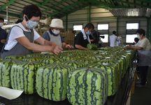 出荷する四角スイカにシールを貼る生産者=6月24日、香川県善通寺市
