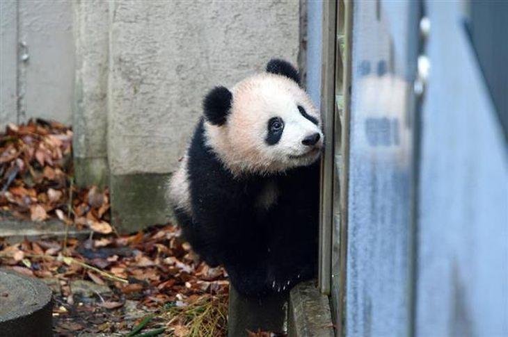 ジャイアントパンダのシャンシャン=9日、東京都台東区の上野動物園(東京動物園協会提供)